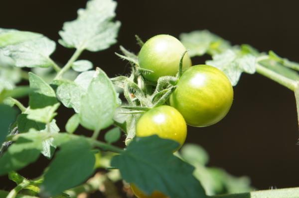 tomato0624.jpg
