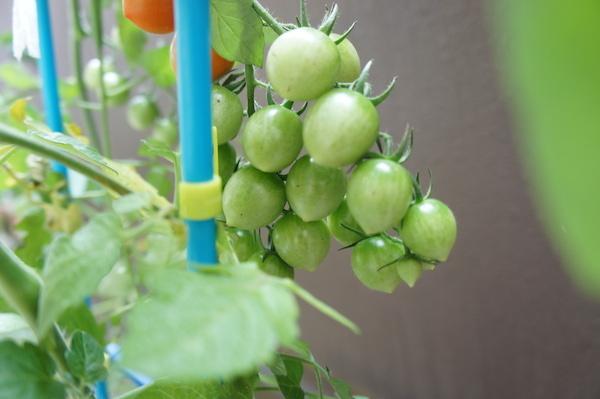 tomato20140713-2.JPG